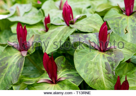 Trillium chloropetalum garden flowers, UK. - Stock Image