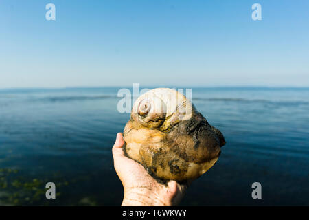 Cropped image of a person holding a moon snail against a beach horizon - Stock Image