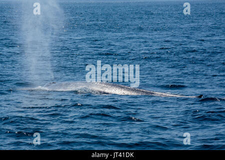 Pygmy Blue Whale (Balaenoptera musculus brevicauda) in the waters of Indonesia, coming up to the surface for a breath - Stock Image