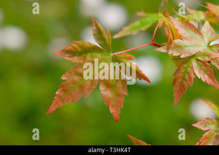 The leaves of a young Acer Palmatum sprouting in spring. - Stock Image