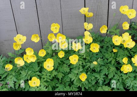Welsh poppies growing next to a wooden fence, Vancouver, BC, Canada - Stock Image