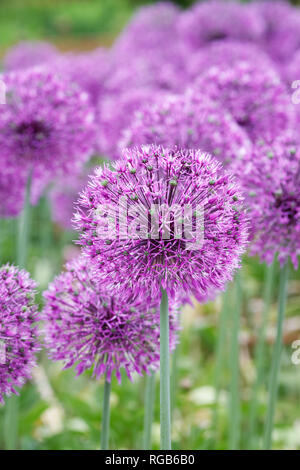 Allium jesdianum 'Early Emperor' flowers. - Stock Image