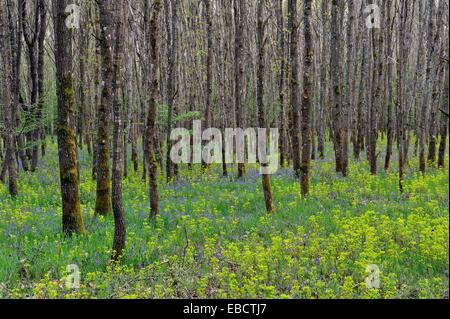 bluebell and euphorbia wood, oakery in the forest of Rambouillet, Yvelines department, Ile de France region, France, - Stock Image