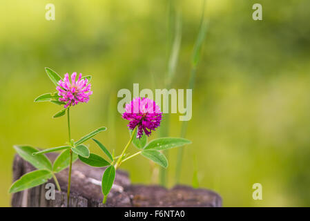 Pair of purple clover flowers - Stock Image
