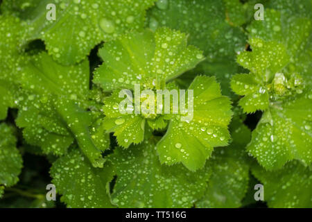 Rain drops settle on green leaves following a rain storm in north east Italy - Stock Image