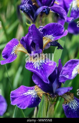 Siberian Iris, Iris sibirica ' Outset ', Irises - Stock Image
