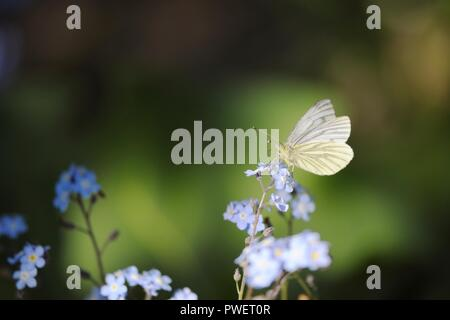 Pieris napi, Green Veined White Butterfly feeding on Forget me not flowers, Wales, UK. - Stock Image