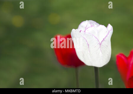 White tulip with petals edged in pink in selective focus of spring background suggestive of fresh season and youth, symbolic of innocence and feminini - Stock Image