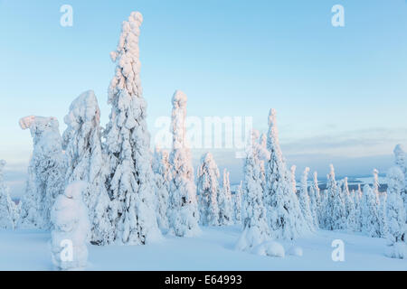 Snow covered trees, Riisitunturi National Park, Lapland, Finland - Stock Image