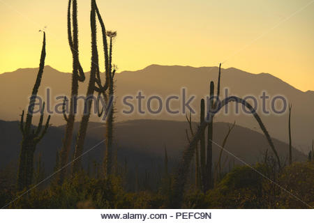 Boojum trees at the northern end of the Sea of Cortez, near Bahia de Los Angeles. - Stock Image