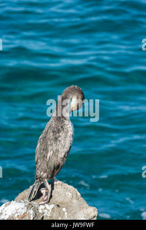 immature Mediterranean shag (Phalacrocorax aristotelis desmarestii), Ibiza, Balearic Islands, Spain, Mediterranean Sea - Stock Image