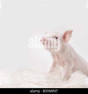 Pink piglet on white rug - Stock Image