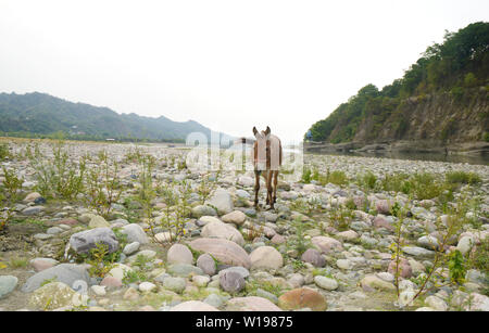 Mule eating grass on river bank - Stock Image