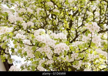 White flowering apple tree macro, Malus blossoms in spring season in Poland, Europe, plenty flowers on the lush - Stock Image