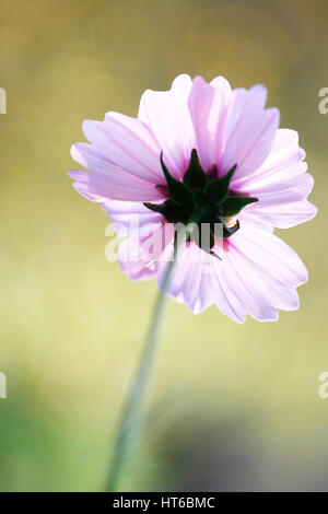 end of flowering season - cosmos sonata delicate pink flower early autumn sunlight  Jane Ann Butler Photography - Stock Image