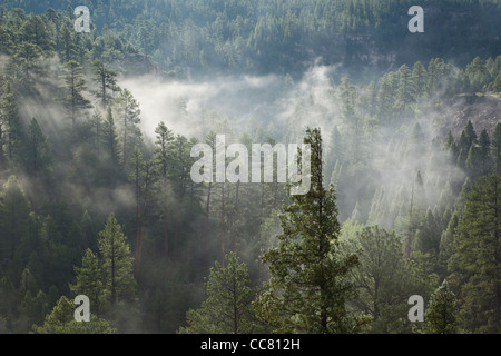 Old growth forest of ponderosa pines and douglas fir, misty morning, upper Walnut Canyon, Coconino National Forest, - Stock Image