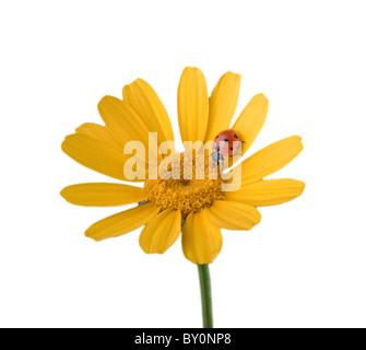 ladybug on a yellow flower isolated on white - Stock Image