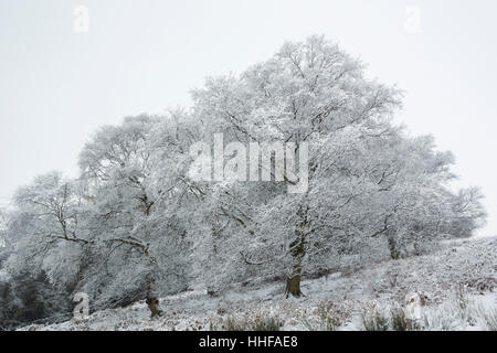 Sycamore and other trees on a snowy winter day with branches covered in snow in Esk Dale in North York Moors national - Stock Image