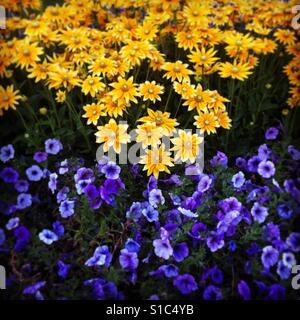 Flowers blooming in summer garden - Stock Image