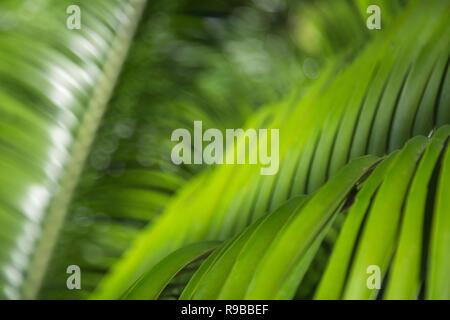 Palm leaves, Durban Botanic Gardens, KwaZulu-Natal, South Africa, - Stock Image