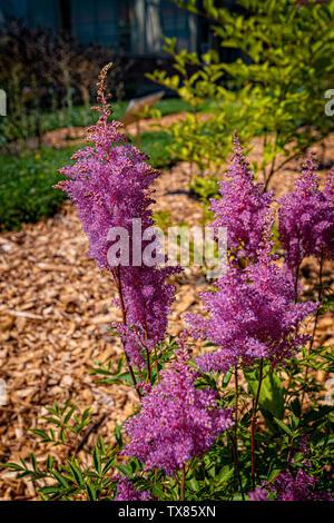 Italy Piedmont Turin Valentino botanical garden - Saxifragaceae - Astilbe Chinensis Franch & Salv. - Stock Image