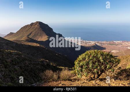 Euphorbia Atropurpurea, Tabaiba Rojo, Spurge plant growing on a ridge in Ifonche, with the Roque del Conde,  above the south coast of Costa Adeje, Ten - Stock Image