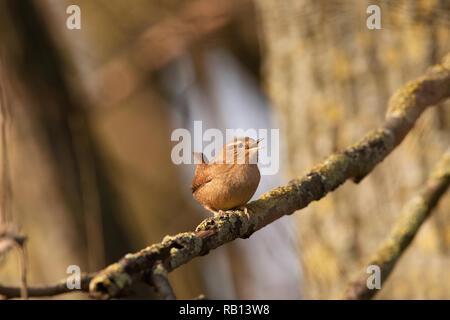 European Wren,Troglodytes troglodytes, singing from branch, Hampstead Heath, London, United Kingdom - Stock Image