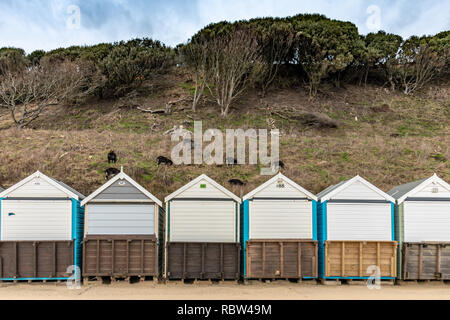 Bournemouth, Dorset, UK. 12th January 2019. Goats are used to graze the cliff side behind beach huts in Bournemouth. Credit: Thomas Faull/Alamy Live News - Stock Image
