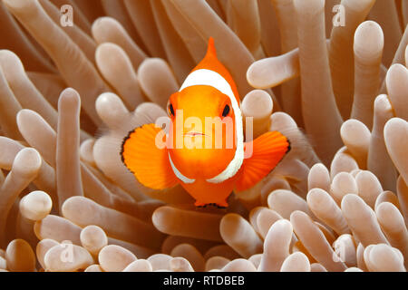 Clown Anemonefish, Amphiprion percula, swimming among the tentacles of its anemone home. Uepi, Solomon Islands. Solomon Sea, Pacific Ocean - Stock Image