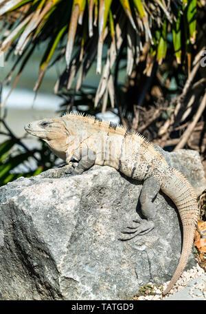 Iguana on the Yucatan Peninsula in Mexico - Stock Image