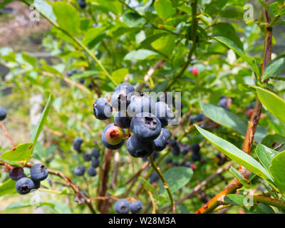 Bunch Of Blueberries On A Blueberry Bush - Stock Image