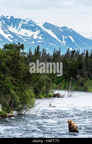 Brown Bear walking in the river, Brooks river, Katmai National Park, Alaska - Stock Image