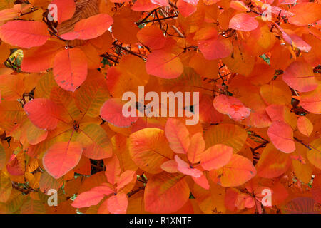 Close-up of smoke bush Cotinus coggygria red leaves in the fall, Vancouver, BC, Canada - Stock Image
