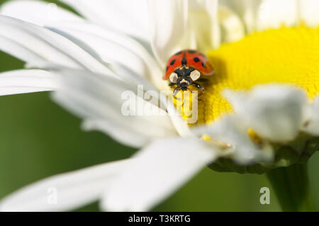 An Asian Lady Beetle (Coccinellidae) on a Shasta Daisy (Leucanthemum x superbum) flower. - Stock Image