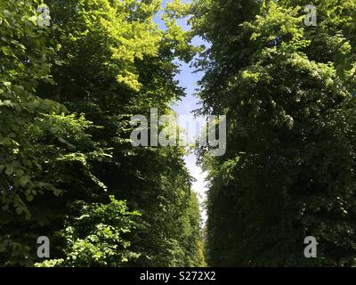 An avenue of lime trees in England. - Stock Image