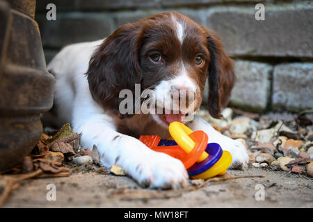 An English springer spaniel 10 week old puppy with flavoured teething rings in the shape of plastic keys. - Stock Image