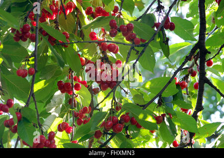 Cherry branch with ripe fruit and leaves. - Stock Image