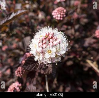 Flower of 'Lady in Red' garden shrub - Stock Image