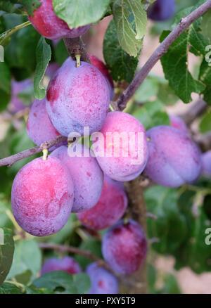 Prunus domestica Plum Jubileum, Jubileum plum, Plum Jubilee. Ripe plums growing on a tree - Stock Image