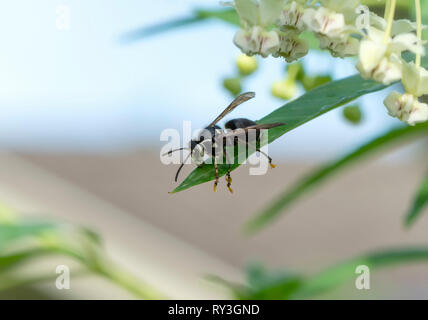 Bald faced wasp resting on a leaf, with milkweed pollinia chains on its legs. - Stock Image