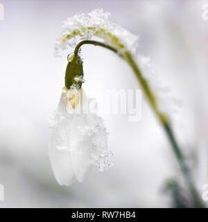 Close-Up of Single Snowdrop Flowre Covered with Snow - Stock Image