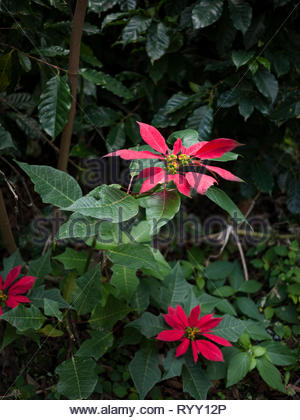 Poinsettia flowers with coffee plants in the background - Stock Image