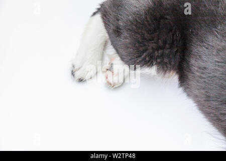 Puppy dog white paws isolated on white background. Pet care and animals concept. Dog foot leg overhead top view. Flat lay copy space - Stock Image