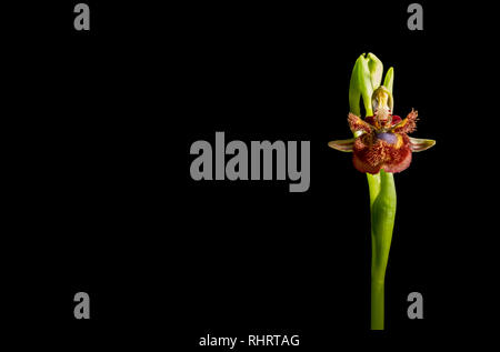 Ophrys speculum or mirror orchid. Isolated over black background - Stock Image