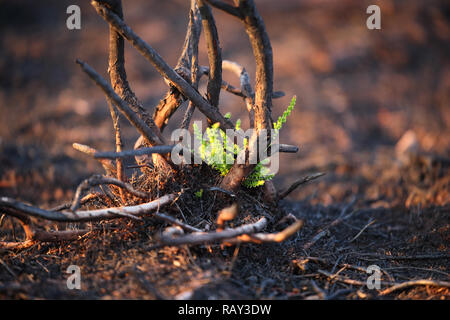 Heather (Calluna vulgaris) regrowth after a wildfire on Randbøl Hede (Randbøl Heath) in Denmark in the summer of 2018 - Stock Image