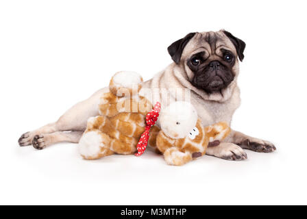 sweet pug puppy dog lying down like a model, with stuffed animal giraffe, on white background - Stock Image