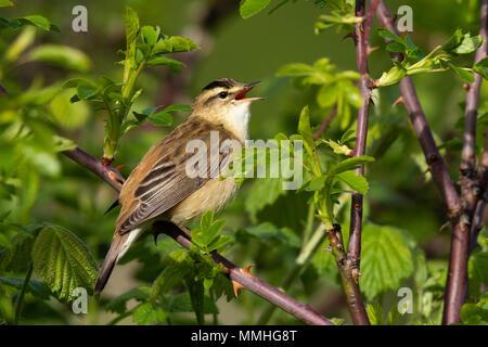 Sedge Warbler (Acrocephalus schoenobaenus) singing in a bramble patch - Stock Image