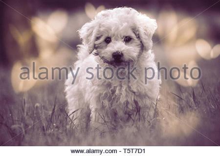 Bichon Frisé puppy - Stock Image