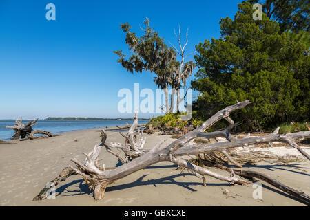 Dead trees on Driftwood beach, Jekyll Island, GA, USA - Stock Image