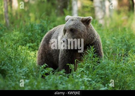 rasian Brown Bear, Finland - Stock Image